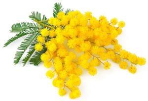 mimosa,